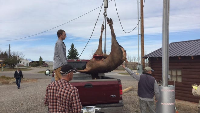 A cow elk is weighed during the opening day of big-game rifle season Oct. 24 at the Augusta game check station run by Montana Fish, Wildlife and Parks.