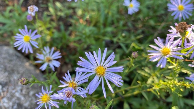 Bushy aster is one plant that will provide plenty of color for you and lots of nectar for your butterflies.