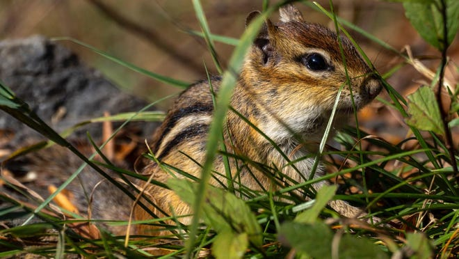 "When you are in the woods and hear a slow ""chuck-chuck-chuck"" or perhaps a ""chirp-chirp-chirp"" sound, it usually is a chipmunk calling."