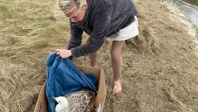 Alicia Xanthopoulos transporting an injured seagull for rehabilitation to the Center for Wildlife in Cape Neddick, Maine. The seagull had a severed foot and was euthanized to end its suffering, according to Center for Wildlife staff.