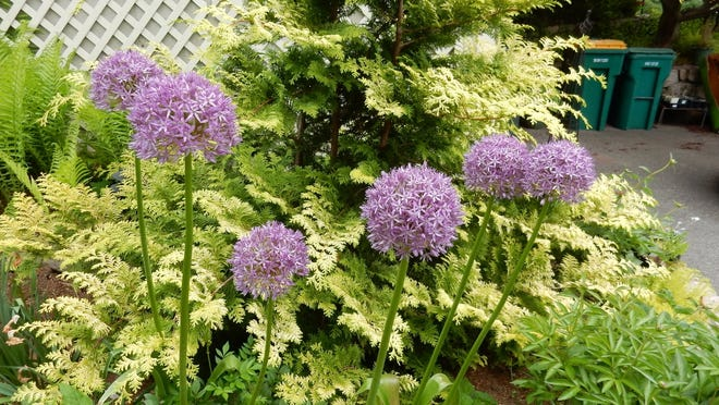 Globemaster Alliums provide a strong architectural element in the garden this time of year.
