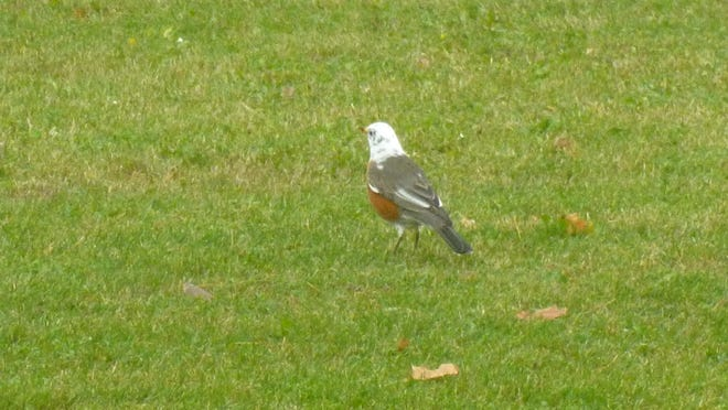 Nicole Mischler, Freedom, spotted this beautiful, white-headed robin outside mingling with other robins and blackbirds on the lawn. She said it looked like a mini bald eagle. Photo courtesy of Nicole Mischler.
