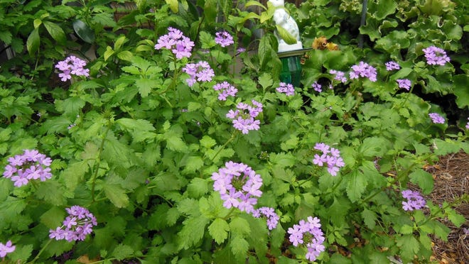 Tampa verbena is a creeping Florida native with lavender flowers.