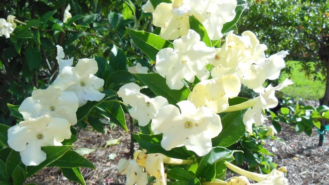 Brunfelsia lady of the night has a far-reaching, lovely fragrance in the evening.
