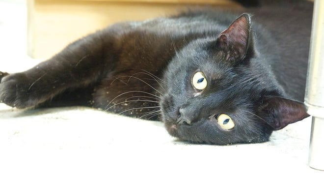 Blackster the cat in the Iowa City Animal Care and Adoption Shelter on May 2, 2014.
