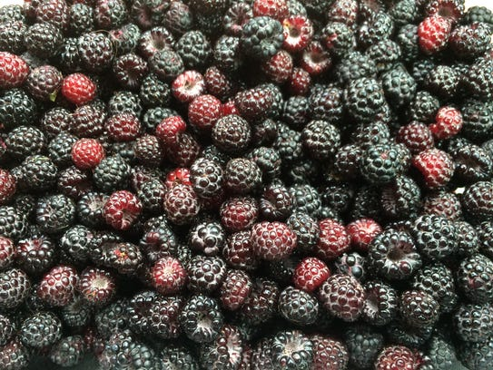 Wild black raspberries are all over Vermont in late