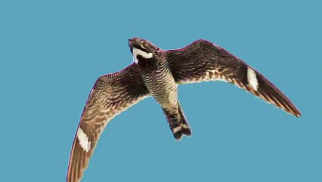 This nighthawk shows its distinctive marking of white bars and the pronounced white V in the neck area.