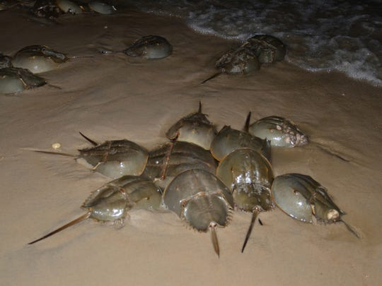 Horseshoe crabs gather at night on a beach along Delaware Bay. Florida wildlife officials are asking beach-goers in the Sunshine State to report if they see Horseshoe crabs having sex.