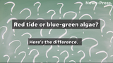 Here's the difference between red tide and blue-green algae