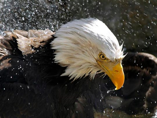Bald Eagle Viewing Opportunities Abound As The National Symbol Makes