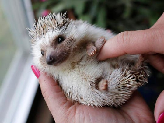 Hedgehogs: The cute, low-maintenance, hypoallergenic pet