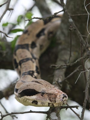 A boa constrictor, perhaps similar to this one, reportedly has been seen in Lake Hopatcong. file photo A Colombian red-tailed boa constrictor hangs out in a tree at Edisonâ??s Earth Day festival April 15 at the Triple C Ranch. Jason Towlen / Staff Photographer A Colombian red tailed boa constrictor in a tree at the Earth Day event. JASON TOWLEN/STAFF PHOTOGRAPHER Edison, NJ - A Columbian red tailed boa constrictor hangs out in a tree during the Earth Day festival, Sunday, April 15, 2012, at the Triple C Ranch in Edison. JASON TOWLEN/STAFF PHOTOGRAPHER