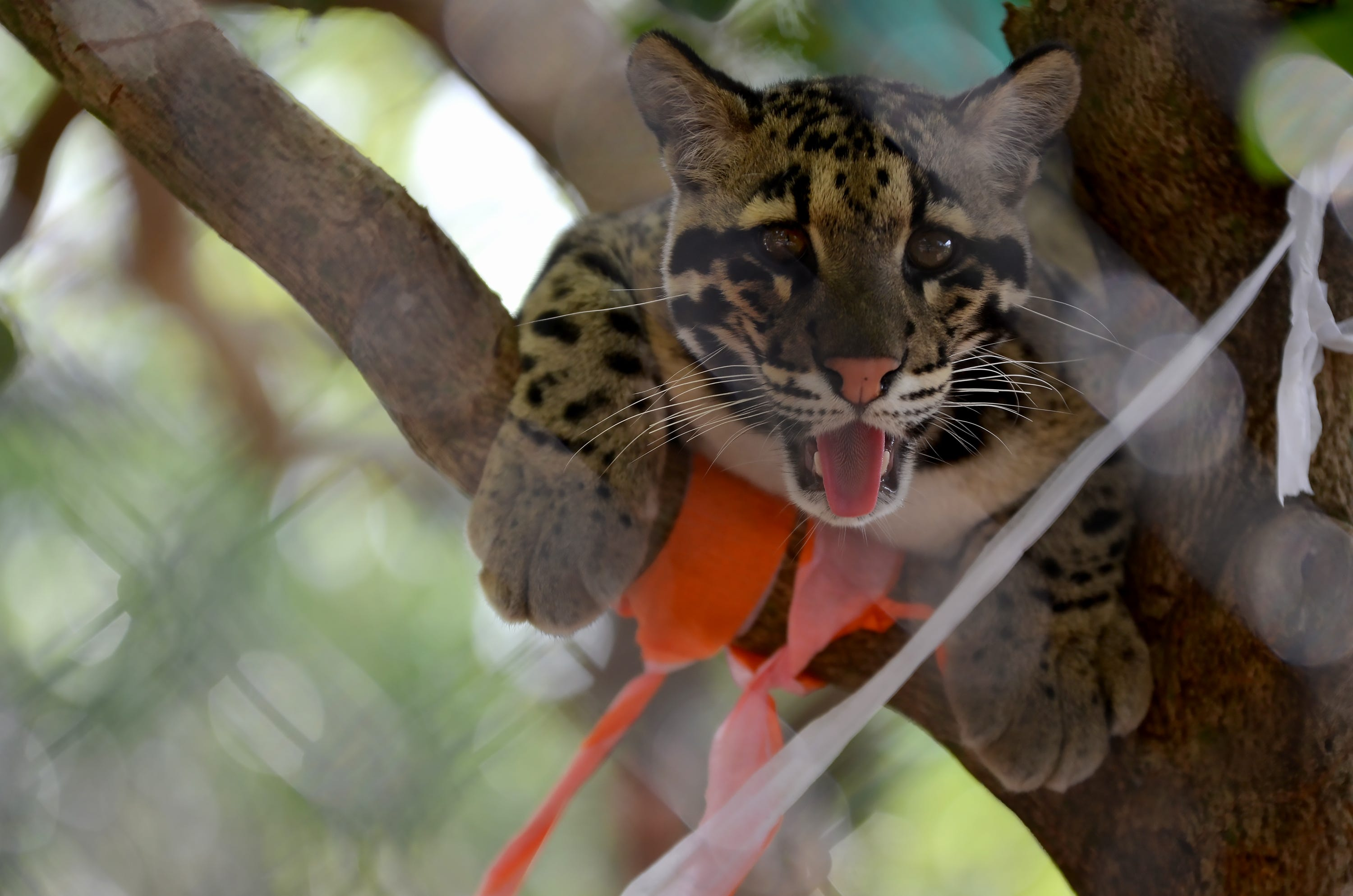 Photos Clouded leopards celebrate birthday at Naples Zoo