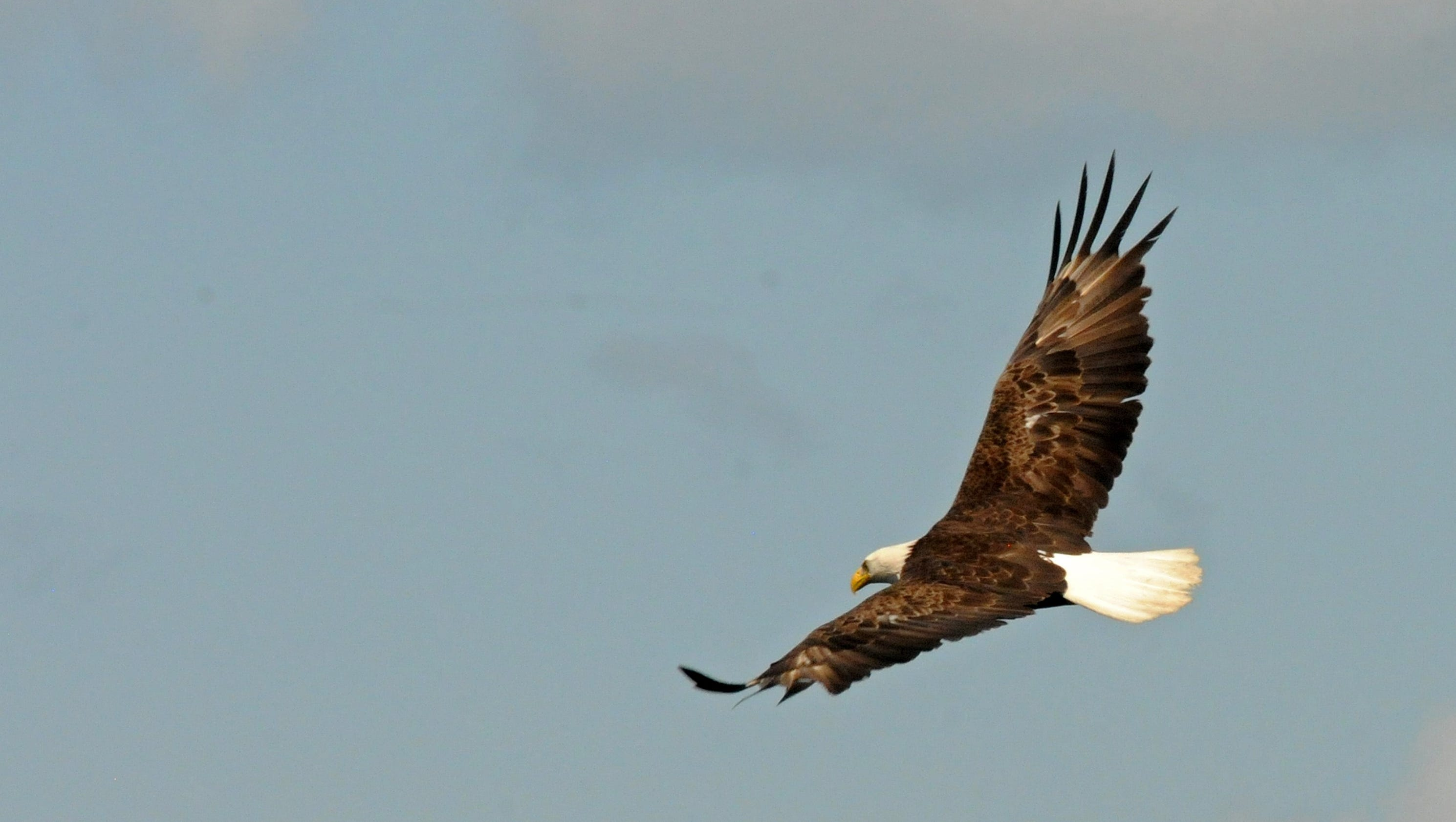 Bald eagle numbers remain strong but lead poisoning remains problem rubansaba