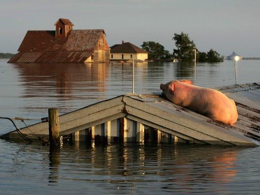 Iowa Flooding - Stranded Hog rests atop a barn near Oakville, IA