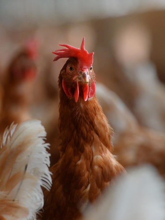 -09022016_wilcox eggs, chickens-c.jpg_20160902.jpg