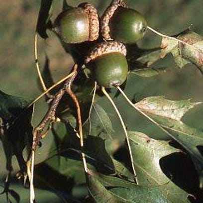 These northern red oak acorns are not yet mature as in this early September photo. As they mature, the color darkens. Each nut is in a shallow cup that is attached to a branch.