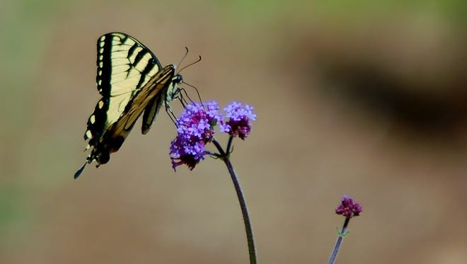 A beautiful tiger swallowtail butterfly lands on a flower.