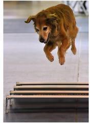 Eight-year-old golden retriever Striker leaps over