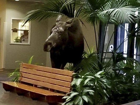 Alaska Hospital Moose