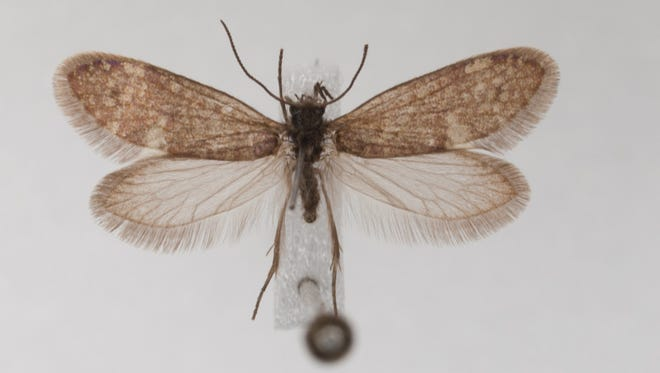 Example of a living representative of a primitive moth belonging to the Glossata, moths that bear a proboscid adapted for sucking up fluids, including nectar.