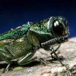 An emerald ash borer