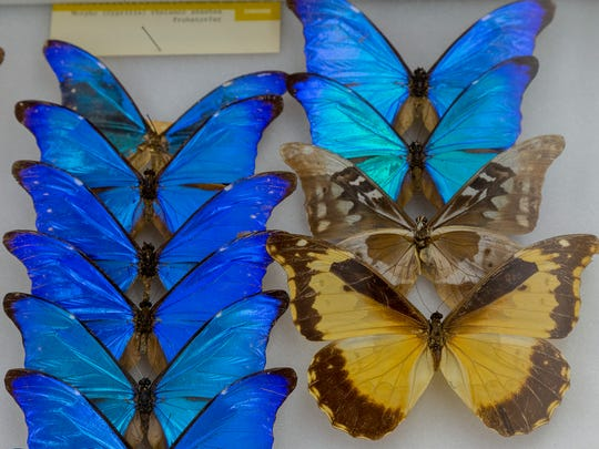 Morpho butterflies from Central and South America from the Department of Entomology's collection at Insectapalooza at Cornell University.