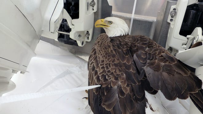 A bald eagle inside a boat at a rest stop in Menomonie, Wis. The bird crashed through the boat's shrink wrap earlier that day as it was traveling along Interstate 94.