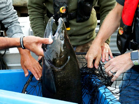 Lummi tribal members and Washington Department of Fish & Wildlife untangle a chinook salmon from a net used to transfer it to the King County Research Vessel SoundGuardian in Bellingham, Wash., Friday, Aug. 10, 2018. The salmon are intended to feed an ailing young orca, J50. (Alan Berner/The Seattle Times via AP, Pool)