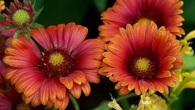 Heat It Up Scarlet blanket flower or gaillardia made its debut this spring. They will reach about 2 feet tall with a spread of close to 3 feet.