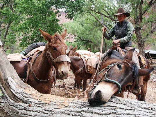 Mules have kept the Grand Canyon moving since the 1880s