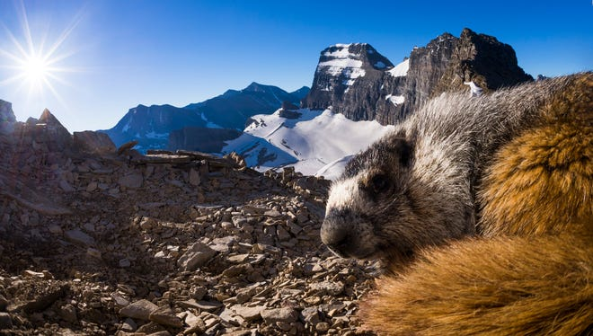 A hoary marmot rests in the sunlight along the Continental Divide in Glacier National Park