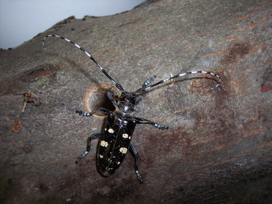 An Asian longhorned beetle emerges from its distinctive