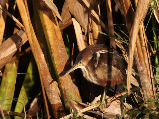 A least bittern blends with it's environment at Harns Marsh preserve on Sunday.