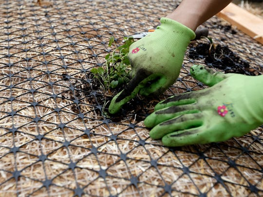 """Saki Urushidani, an engineer in training with the City of Springfield, plants a pickerel weed in a """"floating artificial wetland"""" being built to put into the lake at Sequiota Park on Wednesday, May 2, 2018. The wood-framed floating rectangles are seeded with native water plants and are being used to help control algae in the lake."""