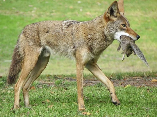 A coyote has a successful squirrel hunt. Predators such as coyotes and feral hogs are significantly reducing deer and turkey populations.