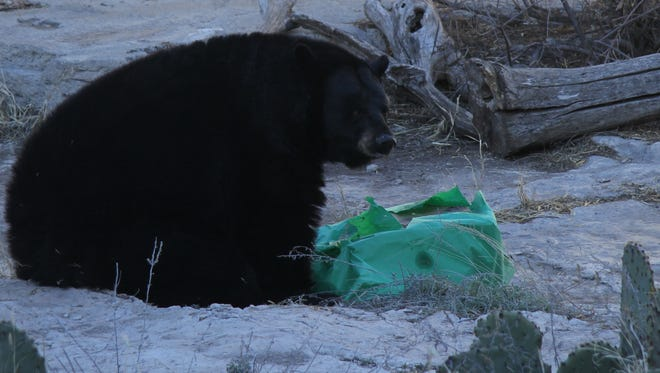 Maggie, the Living Desert Zoo's black bear, turned 12 on Saturday.