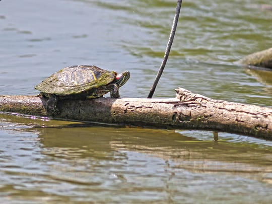 Red-eared sliders were enjoying the sunny day.