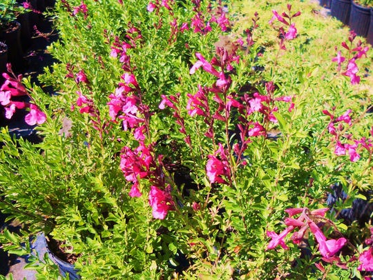 Cherry sage, otherwise known as salvia gregii.