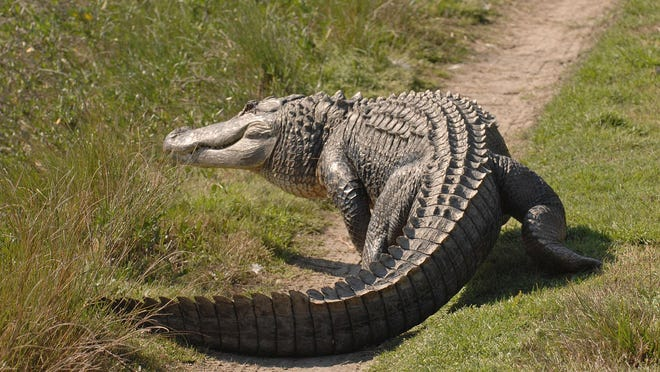 A large alligator lumbers across a dirt road where he had been sunning himself on Ossabaw Island.