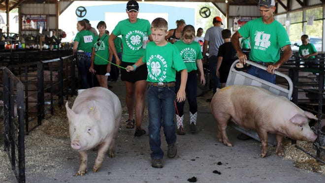 Korben Moeller with the Harrison Huskies 4-H club makes his way from the pig barn to the show barn fro the swine Show during the 2019 Lee County Fair in Donnellson.