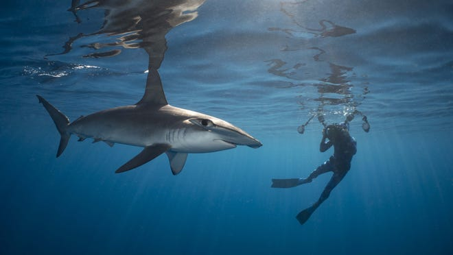 Diver Eric Savetsky, of Nantucket, takes a photograph of a scalloped hammerhead shark near Veatch Canyon, 80 miles southeast of the island, on a July trip. Warmer temperatures in New England waters are drawing more hammerheads closer to shore in the region.