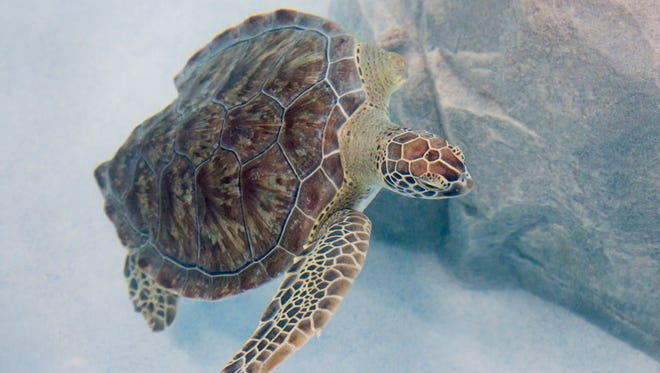 Sweet Pea, a female juvenile green sea turtle, checks out her new home at the Navarre Beach Sea Turtle Conservation Center on Thursday, January 18, 2018.