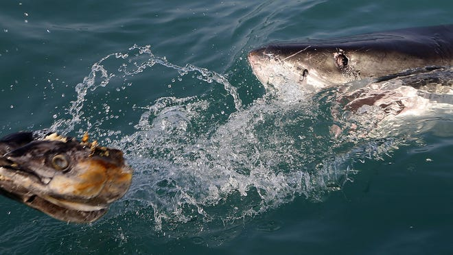 In this 2016 file photo, a great white shark tries to bite a fish head being trolled though the water as researchers chum the ocean looking for sharks off the coast of Gansbaai, South Africa. Seals are thriving off the Northeast United States coast thanks to decades of protections. That victory for wildlife has brought a consequence for humans: more encounters with sharks. The Monday, July 27, 2020, death of swimmer Julie Dimperio Holowach, who was killed by a great white off Harpswell, Maine, might have happened because the shark mistook her for a seal, authorities said.