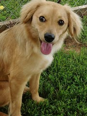 Penny is a 9-month-old, 15-pound female spaniel/chihuahua
