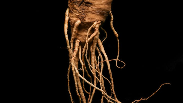Once loosened in the earth, parsnips are seized by their roots for harvest.