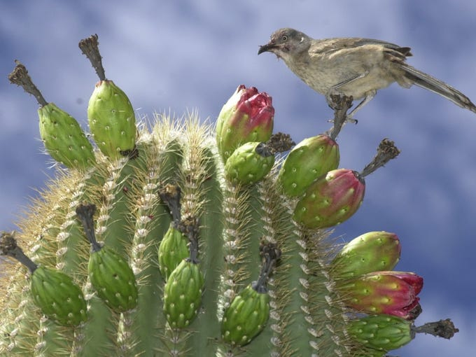 Saguaro cactus are the star of the Sonoran Desert National