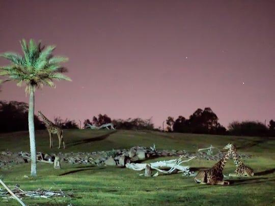 Giraffes rest in their safari enclosure at night during