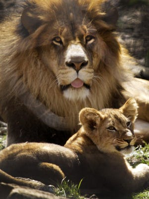 A lion cub rests with its father, Tomo, Wednesday, March 17, 2010 at the Columbus Zoo.