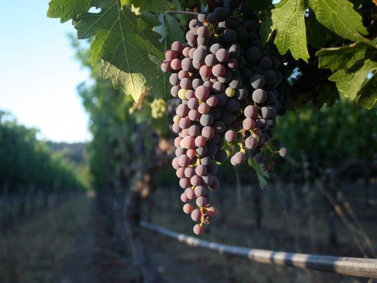 In July, Cabernet grapes in the Napa Valley get their